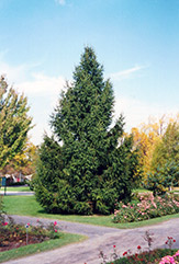 Norway Spruce (Picea abies) at Hartman Companies