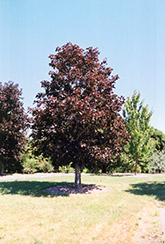 Royal Red Norway Maple (Acer platanoides 'Royal Red') at Hartman Companies
