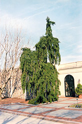 Weeping Norway Spruce (Picea abies 'Pendula') at Hartman Companies