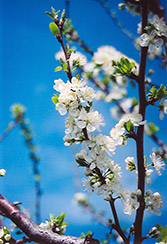 Mount Royal Plum (Prunus 'Mount Royal') at Hartman Companies