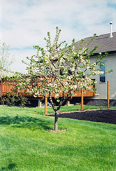 Evans Cherry (Prunus 'Evans') at Hartman Companies