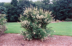 Cheyenne Common Privet (Ligustrum vulgare 'Cheyenne') at Hartman Companies