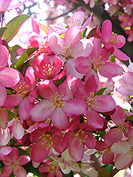 Camelot Flowering Crab (Malus 'Camelot') at Hartman Companies