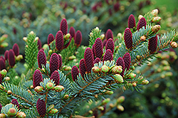 Red Cone Spruce (Picea abies 'Acrocona') at Hartman Companies