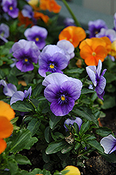 Velour Blue Pansy (Viola 'Velour Blue') at Hartman Companies