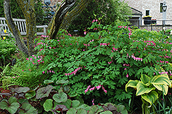 Common Bleeding Heart (Dicentra spectabilis) at Hartman Companies