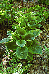 Frances Williams Hosta (Hosta 'Frances Williams') at Hartman Companies