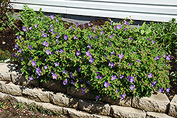 Johnson's Blue Cranesbill (Geranium 'Johnson's Blue') at Hartman Companies