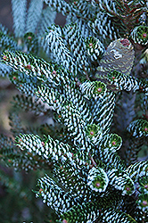 Silver Korean Fir (Abies koreana 'Silberlocke') at Hartman Companies