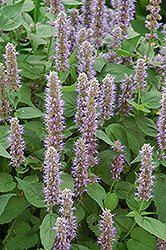 Blue Fortune Anise Hyssop (Agastache 'Blue Fortune') at Hartman Companies