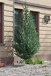 Dakota Pinnacle Japanese White Birch (Betula platyphylla 'Fargo') at Hartman Companies