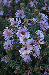 Woods Blue Aster (Aster 'Woods Blue') at Hartman Companies