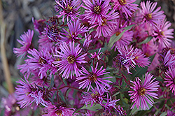Woods Pink Aster (Aster 'Woods Pink') at Hartman Companies