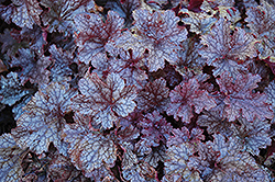 Plum Pudding Coral Bells (Heuchera 'Plum Pudding') at Hartman Companies