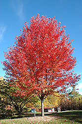 Autumn Blaze Maple (Acer x freemanii 'Jeffersred') at Hartman Companies