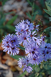 Smooth Aster (Aster laevis) at Hartman Companies
