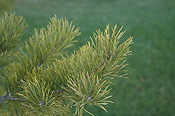 Scotch Pine (Pinus sylvestris) at Hartman Companies