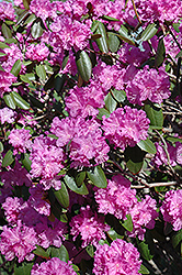 P.J.M. Rhododendron (Rhododendron 'P.J.M.') at Hartman Companies
