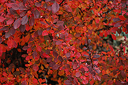 Rose Glow Japanese Barberry (Berberis thunbergii 'Rose Glow') at Hartman Companies