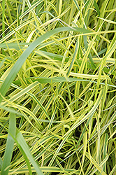Variegated Palm Sedge (Carex muskingumensis 'Oehme') at Hartman Companies