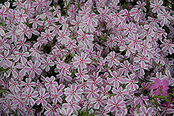 Candy Stripe Moss Phlox (Phlox subulata 'Candy Stripe') at Hartman Companies