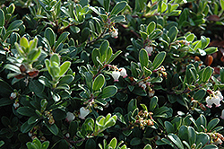 Massachusetts Bearberry (Arctostaphylos uva-ursi 'Massachusetts') at Hartman Companies