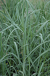Heavy Metal Blue Switch Grass (Panicum virgatum 'Heavy Metal') at Hartman Companies