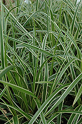 Ice Dance Sedge (Carex morrowii 'Ice Dance') at Hartman Companies