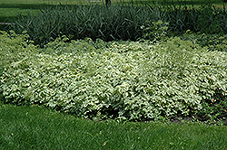 Variegated Bishop's Goutweed (Aegopodium podagraria 'Variegata') at Hartman Companies