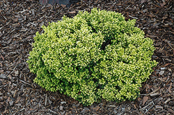 Golden Nugget Japanese Barberry (Berberis thunbergii 'Golden Nugget') at Hartman Companies