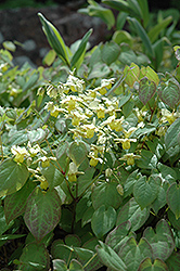Yellow Barrenwort (Epimedium x versicolor 'Sulphureum') at Hartman Companies