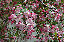 Louisa Flowering Crab (Malus 'Louisa') at Hartman Companies