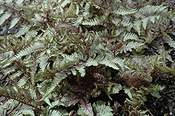 Red Beauty Painted Fern (Athyrium nipponicum 'Red Beauty') at Hartman Companies