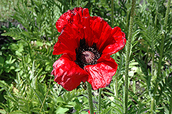 Beauty of Livermere Poppy (Papaver orientale 'Beauty of Livermere') at Hartman Companies