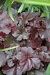 Midnight Rose Coral Bells (Heuchera 'Midnight Rose') at Hartman Companies