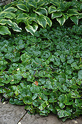 Canadian Wild Ginger (Asarum canadense) at Hartman Companies