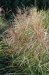 Red Silver Maiden Grass (Miscanthus sinensis 'Rotsilber') at Hartman Companies