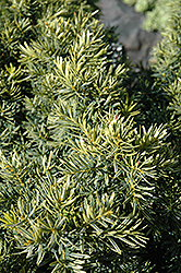 Dwarf Bright Gold Yew (Taxus cuspidata 'Dwarf Bright Gold') at Hartman Companies