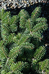 Starker's Dwarf Korean Fir (Abies koreana 'Starker's Dwarf') at Hartman Companies