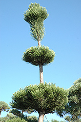 Mt. Vernon Blue Scotch Pine (Pinus sylvestris 'Mt. Vernon Blue') at Hartman Companies