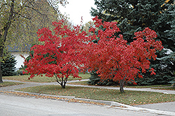 Flame Amur Maple (Acer ginnala 'Flame') at Hartman Companies