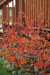 Autumn Magic Black Chokeberry (Aronia melanocarpa 'Autumn Magic') at Hartman Companies