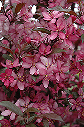 Royal Raindrops Flowering Crab (Malus 'Royal Raindrops') at Hartman Companies