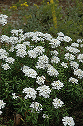 Purity Candytuft (Iberis sempervirens 'Purity') at Hartman Companies