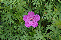 Tiny Monster Cranesbill (Geranium 'Tiny Monster') at Hartman Companies
