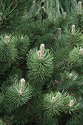 Oregon Green Austrian Pine (Pinus nigra 'Oregon Green') at Hartman Companies