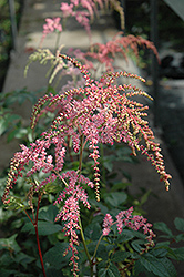 Ostrich Plume Astilbe (Astilbe x arendsii 'Ostrich Plume') at Hartman Companies