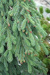 Weeping White Spruce (Picea glauca 'Pendula') at Hartman Companies