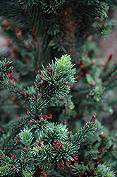 Hillside Upright Dwarf Blue Spruce (Picea pungens 'Hillside Upright') at Hartman Companies