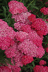 Saucy Seduction Yarrow (Achillea millefolium 'Saucy Seduction') at Hartman Companies